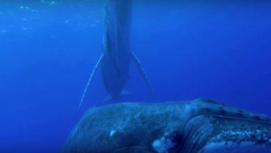 Photo of DJI Stories – Die Buckelwale von Rarotonga