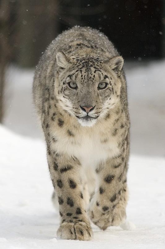 Schneeleopard Artenschutz